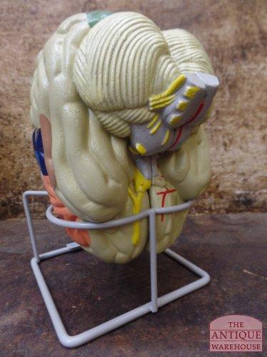anatomisch model van de hersenen