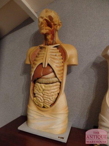 antique anatomical model